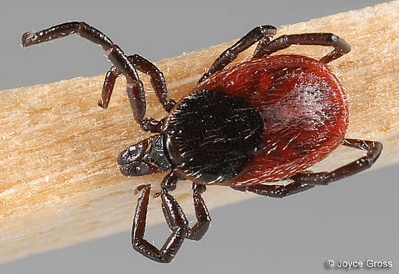 Female Western Blacklegged Tick